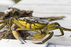 Ευρωπαϊκή αλιεία καβουριών ακτών που απελευθερώνεται Στοκ φωτογραφίες με δικαίωμα ελεύθερης χρήσης