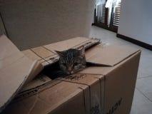 Ευρωπαϊκή γάτα σε ένα κιβώτιο στοκ εικόνα με δικαίωμα ελεύθερης χρήσης