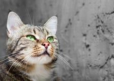 Ευρωπαϊκή γάτα στο μέτωπο σε μια γκρίζα ανασκόπηση Στοκ φωτογραφία με δικαίωμα ελεύθερης χρήσης