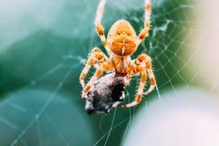 Ευρωπαϊκή διαγώνια αράχνη στον Ιστό που τρώει το θήραμα Στοκ εικόνα με δικαίωμα ελεύθερης χρήσης