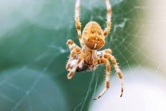 Ευρωπαϊκή διαγώνια αράχνη στον Ιστό που τρώει το θήραμα Στοκ Εικόνες