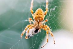 Ευρωπαϊκή διαγώνια αράχνη στον Ιστό που τρώει το θήραμα Στοκ φωτογραφία με δικαίωμα ελεύθερης χρήσης