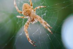 Ευρωπαϊκή διαγώνια αράχνη στον Ιστό Στοκ Εικόνα