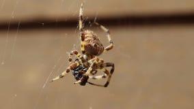 Ευρωπαϊκή διαγώνια αράχνη Araneus Diadematus που τρώει το θήραμα απόθεμα βίντεο