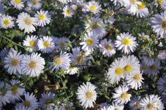 Ευρωπαϊκή μέλισσα μελιού στο λουλούδι αστέρων στοκ εικόνα