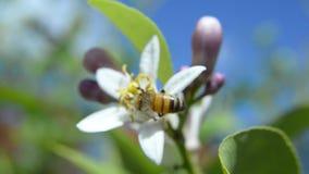 Ευρωπαϊκή μέλισσα μελιού απόθεμα βίντεο