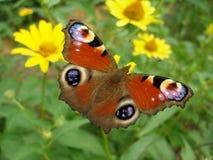 Ευρωπαϊκή πεταλούδα peacock Στοκ εικόνες με δικαίωμα ελεύθερης χρήσης