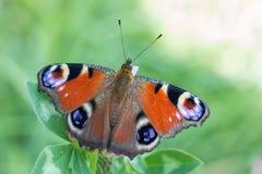 Ευρωπαϊκή πεταλούδα peacock - inachis io - σε ένα φύλλο τριφυλλιού στοκ εικόνες
