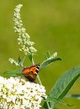 Ευρωπαϊκή πεταλούδα peacock Στοκ φωτογραφία με δικαίωμα ελεύθερης χρήσης
