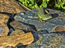 Ευρωπαϊκή πράσινη σαύρα, viridis Lacerta, το πράσινο κόσμημα της Ευρώπης στοκ εικόνα με δικαίωμα ελεύθερης χρήσης