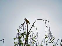 Ευρωπαϊκή συνεδρίαση goldfinch και από τη σημύδα στοκ φωτογραφία με δικαίωμα ελεύθερης χρήσης