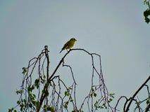 Ευρωπαϊκή συνεδρίαση greenfinch σε ένα δέντρο σημύδων στοκ εικόνα
