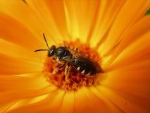 Ευρωπαϊκή σφήκα, γερμανική σφήκα ή γερμανικό Yellowjacket μέσα Marigold Στοκ Φωτογραφία