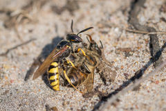 Ευρωπαϊκή σφήκα Beewolf (triangulum Philanthus) με το θήραμα μελισσών μελιού Στοκ Εικόνες