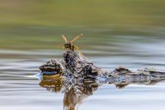 Ευρωπαϊκή σφήκα germanica Vespula, γερμανική σφήκα, ή γερμανικό yellowj Στοκ Φωτογραφίες