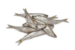 ευρωπαϊκή φρέσκια τήξη ψαριών Στοκ εικόνες με δικαίωμα ελεύθερης χρήσης