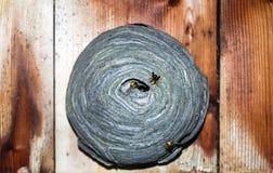 Ευρωπαϊκή φωλιά εγγράφου hornet Στοκ φωτογραφίες με δικαίωμα ελεύθερης χρήσης