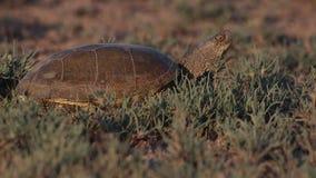 Ευρωπαϊκή χελώνα λιμνών στο λιβάδι φιλμ μικρού μήκους