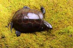 Ευρωπαϊκή χελώνα ελών Στοκ Εικόνες