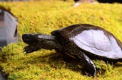 Ευρωπαϊκή χελώνα ελών Στοκ φωτογραφία με δικαίωμα ελεύθερης χρήσης