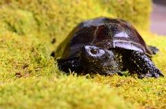 Ευρωπαϊκή χελώνα ελών Στοκ Φωτογραφία