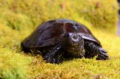 Ευρωπαϊκή χελώνα ελών Στοκ Εικόνα