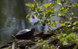 Ευρωπαϊκή χελώνα ελών - orbicularis Emys στοκ φωτογραφία με δικαίωμα ελεύθερης χρήσης