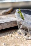 Ευρωπαϊκή Mantis ή επίκληση Mantis Στοκ εικόνες με δικαίωμα ελεύθερης χρήσης