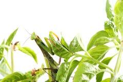 Ευρωπαϊκή Mantis ή επίκληση Mantis, religiosa Mantis, στις εγκαταστάσεις Ι Στοκ Φωτογραφία
