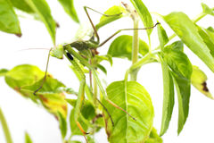 Ευρωπαϊκή Mantis ή επίκληση Mantis, religiosa Mantis, στις εγκαταστάσεις Ι Στοκ εικόνα με δικαίωμα ελεύθερης χρήσης