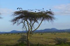 Ευρωπαϊκοί πελαργοί στο σούρουπο στο δέντρο ακακιών στη συντήρηση Lewa, Κένυα, Αφρική στοκ εικόνες