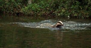 Ευρωπαϊκός ασβός, meles meles, ενήλικο τρέξιμο μέσω του νερού, Νορμανδία, απόθεμα βίντεο