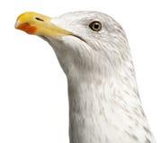 Ευρωπαϊκός ασημόγλαρος, argentatus Larus Στοκ φωτογραφία με δικαίωμα ελεύθερης χρήσης