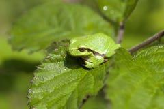 Ευρωπαϊκός βάτραχος δέντρων - μακροεντολή Στοκ Φωτογραφία