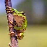 Ευρωπαϊκός βάτραχος δέντρων Στοκ φωτογραφία με δικαίωμα ελεύθερης χρήσης