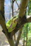 Ευρωπαϊκός βάτραχος δέντρων (arborea Hyla) Στοκ φωτογραφίες με δικαίωμα ελεύθερης χρήσης