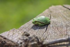 Ευρωπαϊκός βάτραχος δέντρων - μακρο πυροβολισμός Στοκ εικόνα με δικαίωμα ελεύθερης χρήσης