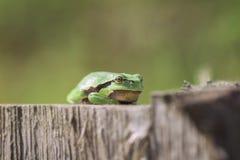 Ευρωπαϊκός βάτραχος δέντρων - μπροστινή άποψη Στοκ φωτογραφία με δικαίωμα ελεύθερης χρήσης