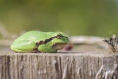 Ευρωπαϊκός βάτραχος δέντρων - πλάγια όψη Στοκ εικόνα με δικαίωμα ελεύθερης χρήσης