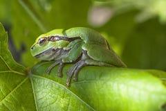 Ευρωπαϊκός βάτραχος δέντρων Στοκ Εικόνες