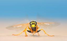 Ευρωπαϊκός γίγαντας hornet στοκ φωτογραφία