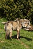 ευρωπαϊκός γκρίζος λύκο&s Στοκ Εικόνα