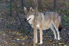 Ευρωπαϊκός γκρίζος λύκος (Λύκος Canis) Στοκ φωτογραφία με δικαίωμα ελεύθερης χρήσης