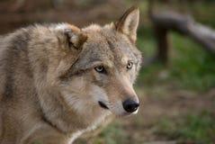 ευρωπαϊκός γκρίζος λύκο&s Στοκ εικόνα με δικαίωμα ελεύθερης χρήσης