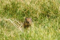 Ευρωπαϊκός γοπχερ suslik ή αλεσμένος σκίουρος στην αγριότητα έξω Στοκ Φωτογραφίες