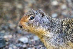 Ευρωπαϊκός γοπχερ suslik ή αλεσμένος σκίουρος στην αγριότητα έξω Στοκ Εικόνες