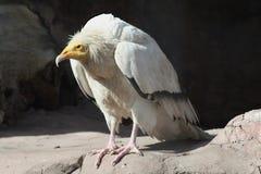 ευρωπαϊκός γύπας Στοκ φωτογραφία με δικαίωμα ελεύθερης χρήσης