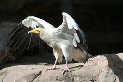 Ευρωπαϊκός γύπας   Στοκ Εικόνα