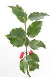 Ευρωπαϊκός ελαιόπρινος (aquifolium Ilex) Στοκ εικόνα με δικαίωμα ελεύθερης χρήσης