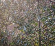 ευρωπαϊκός ελαιόπρινος Στοκ φωτογραφία με δικαίωμα ελεύθερης χρήσης